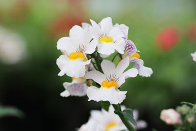Elfenspiegel - Nemesia weißblühend