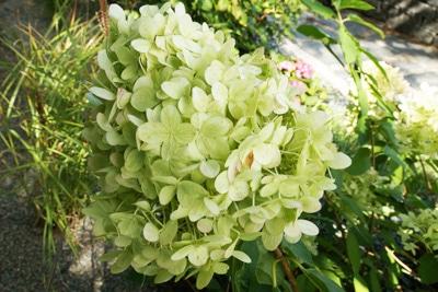 Rispen-Hortensie - Hydrangea paniculata