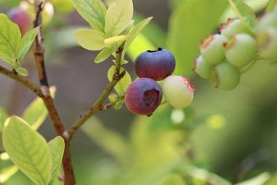 Heidelbeeren - Blaubeeren