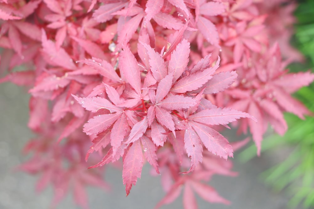 Zierahorn - Acer palmatum