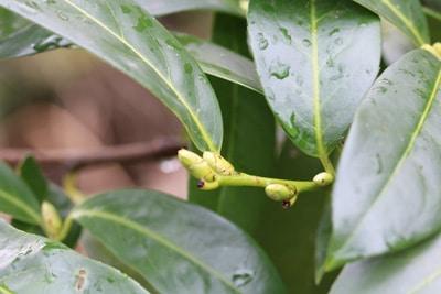 Kirschlorbeer - Prunus lauroceraus