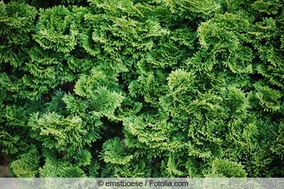 Muschelzypresse
