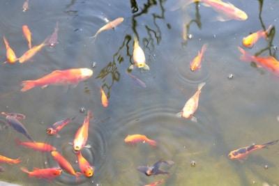 Viele Goldfische im Teich