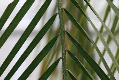 Zwergdattelpalme - Phoenix robelenii