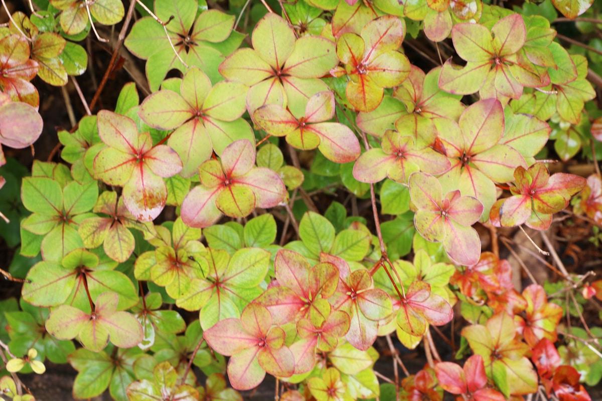 Giftige Pflanzen für Katzen - Azalee