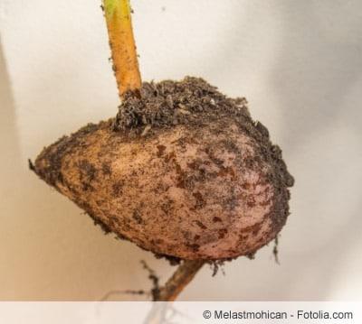 Avocado-Wurzel