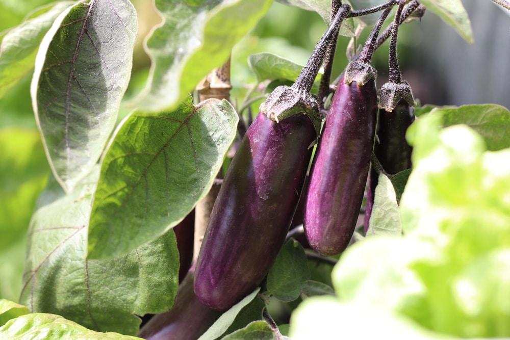 Aubergine - Solanum melongena