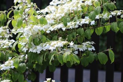 Japanischer Schneeball - Viburnum plicatum