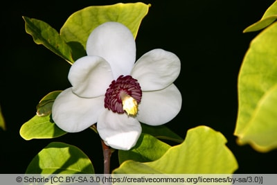 Sommermagnolie - Magnolia sieboldii