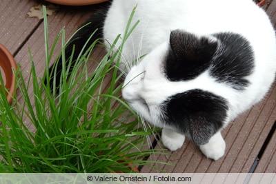 Katze knabbert an Gras
