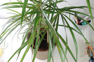 Zimmerpalmen - Dracaena marginata - Gerandeter Drachenbaum