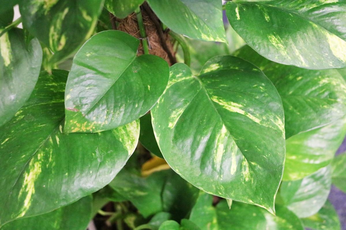Giftige Pflanzen für Katzen - Philodendron