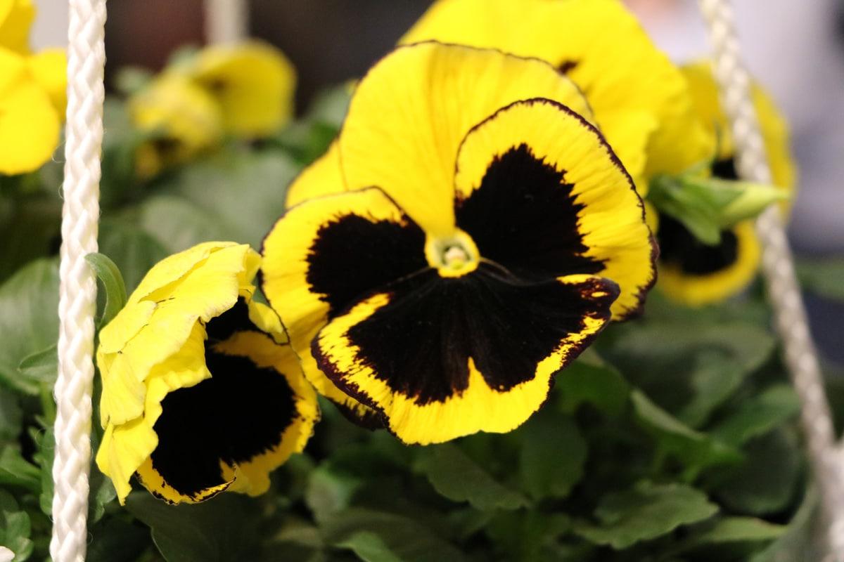 Giftige Pflanzen für Katzen - Stiefmütterchen