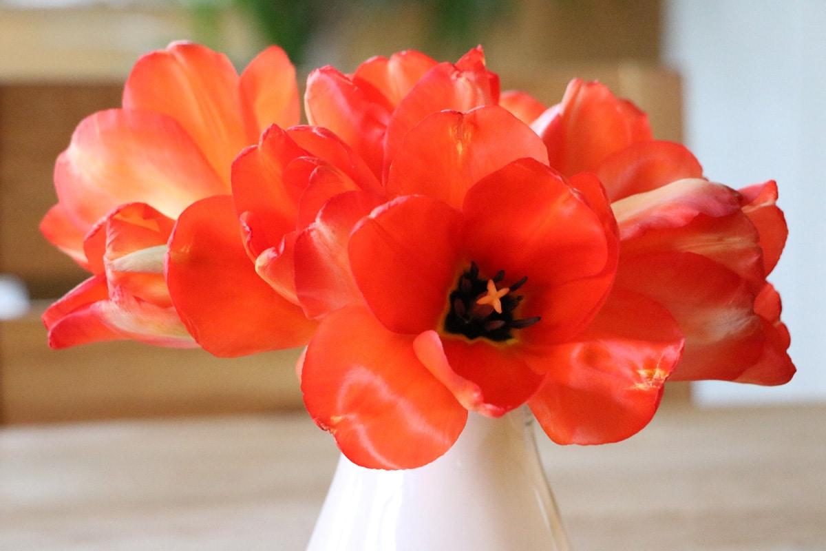Giftige Pflanzen für Katzen - Tulpen