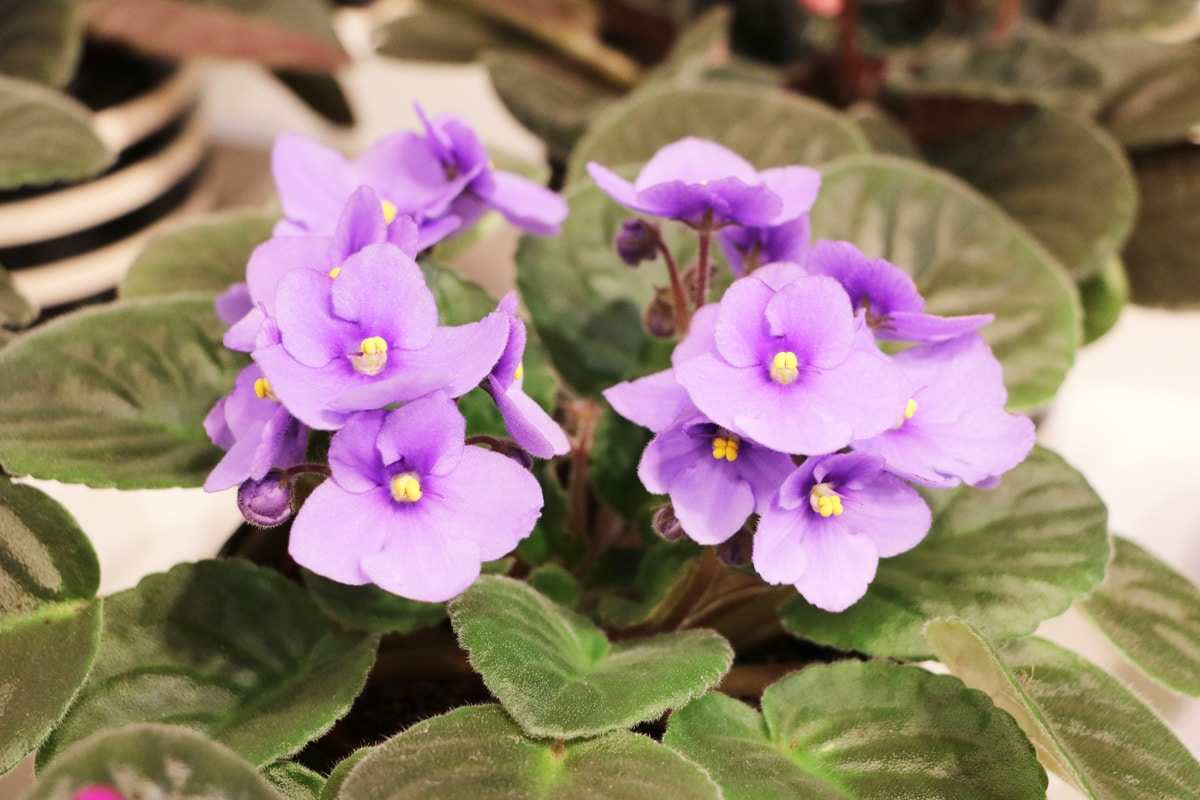 Ungiftige Pflanzen für Katzen - Usambaraveilchen