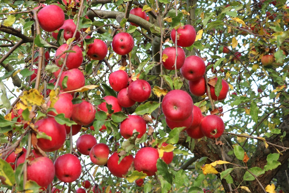 Apfelbaum, kein Kaffeesatz Dünger