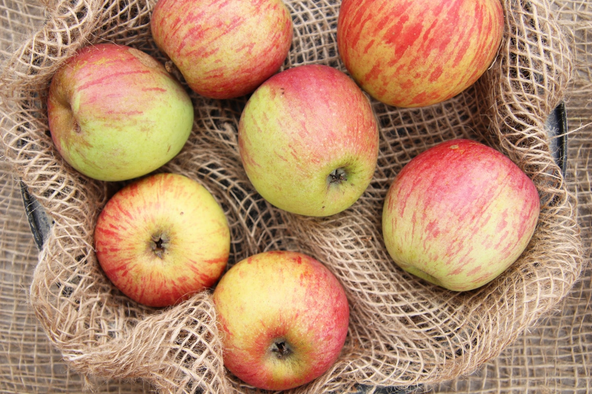 Apfelsorten - Rheinischer Bohnapfel