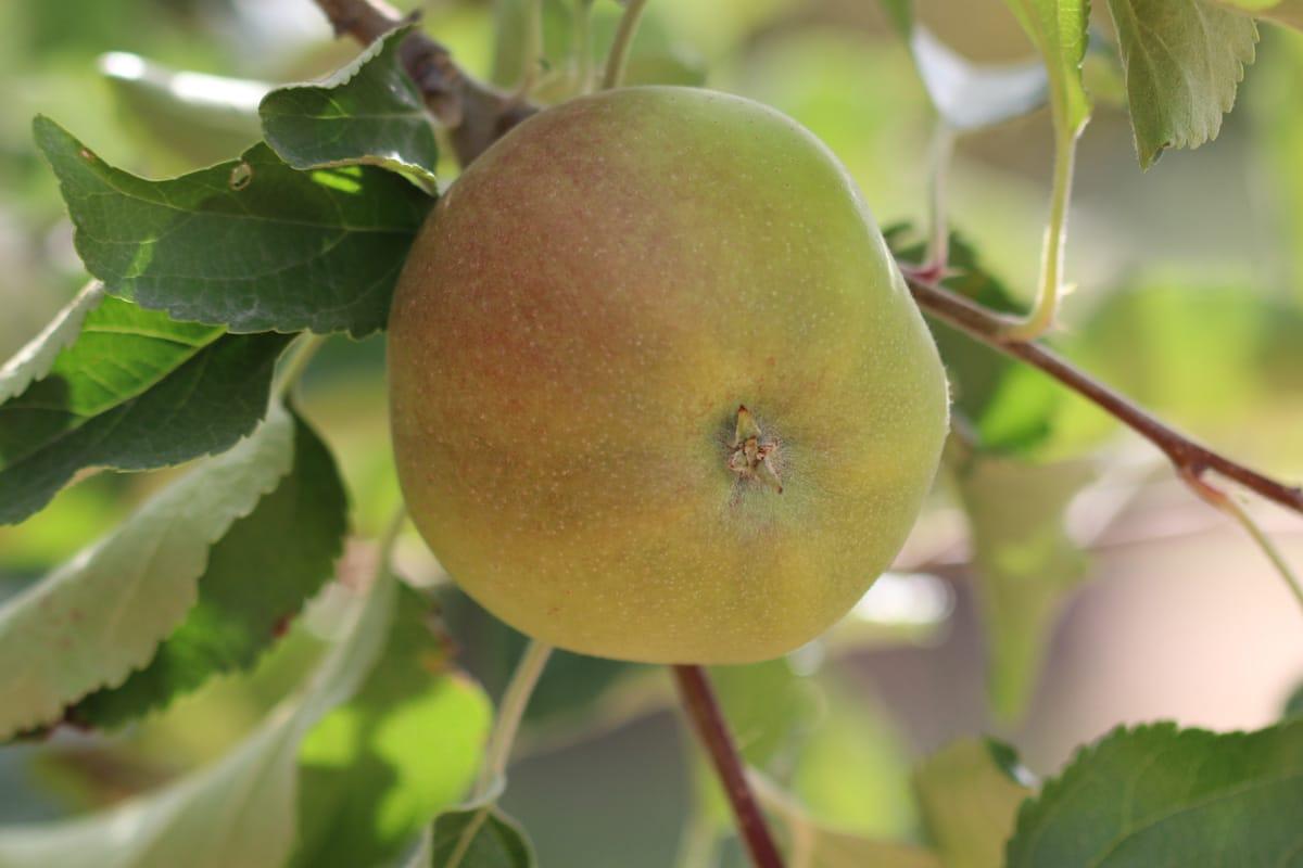 Alte Apfelsorten - Boskoop