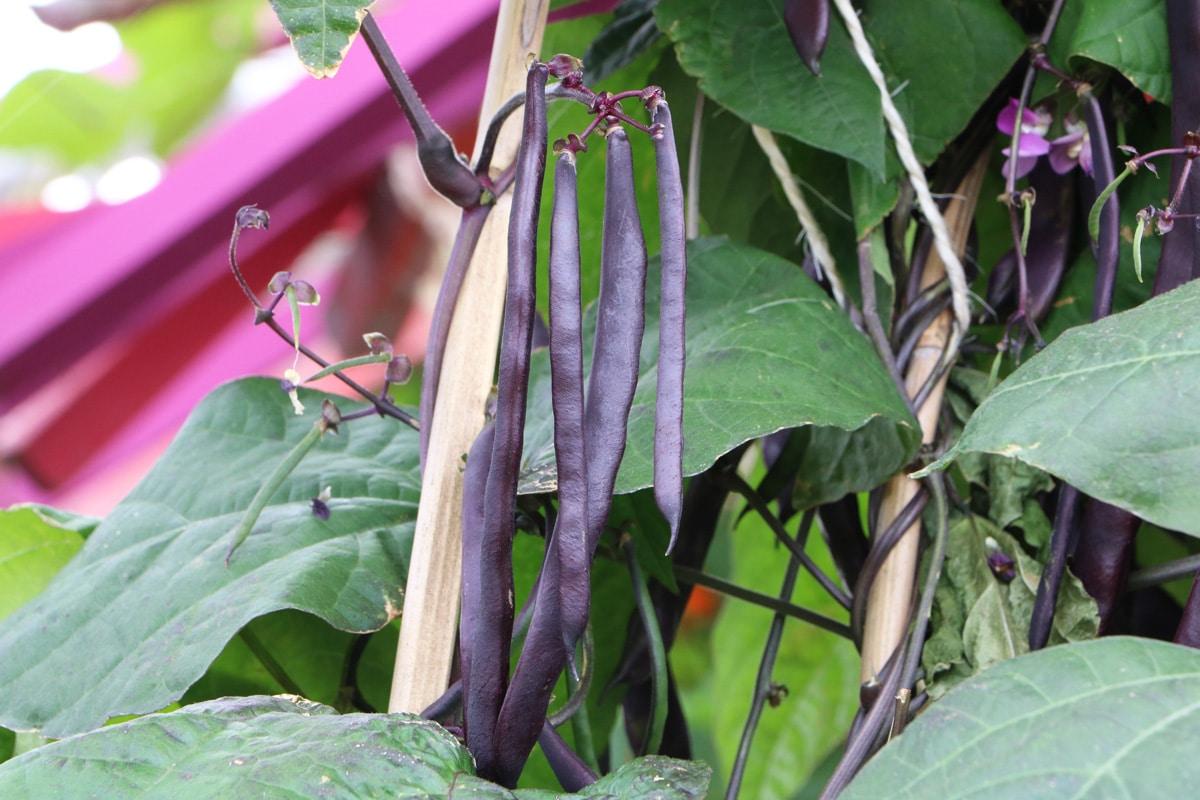 Bohnensorten - Brechbohne 'Blauhild'