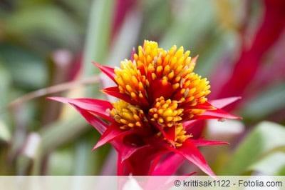 Guzmania Blüte nah