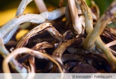 Orchidee Wurzel trocken