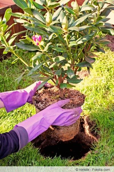 Azalee einpflanzen