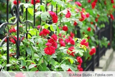 Rosen kletternd