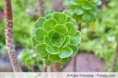 rosettendickblatt