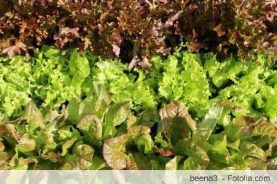Salatsorten in der Übersicht - große Liste - Gartenlexikon.de