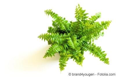 Schwertfarn Pflanze
