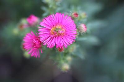 Blüte der Aster, winterharte Staude