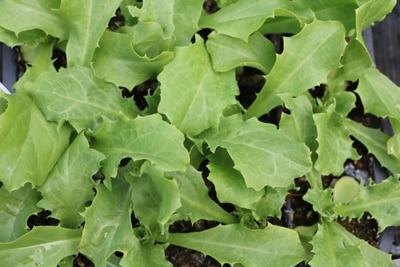 Endivie - Cichorium endivia