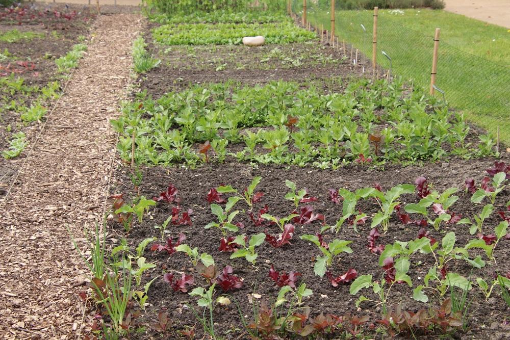 Gemüsegarten - Gemüsebeet