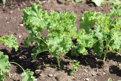 Grünkohl - Brassica olaracea