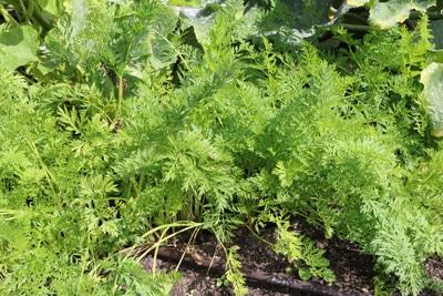 Möhren - Karotten - Daucus