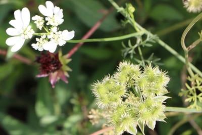 Stahlendolde - Orlaya grandiflora