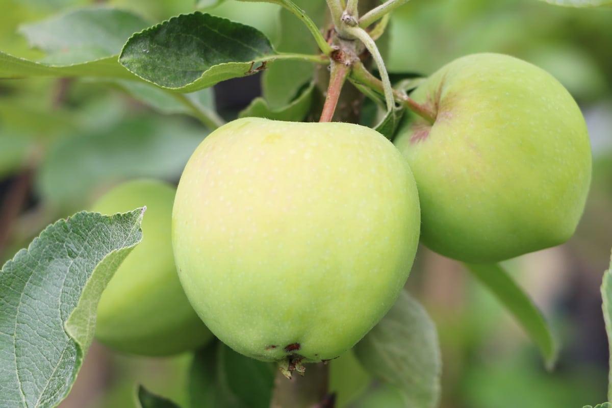 Alte Apfelsorten - Weißer Klarapfel