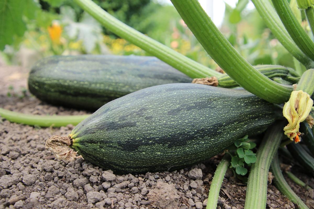 Kürbissorten - Zucchini