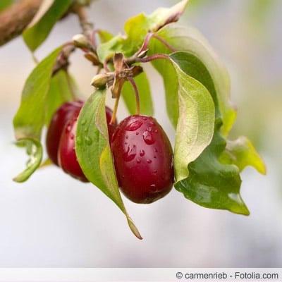 Cornus mas frucht