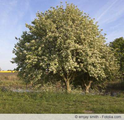 Mehlbeeren Baum
