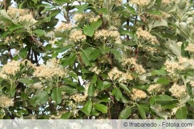 Mehlbeeren Blüte