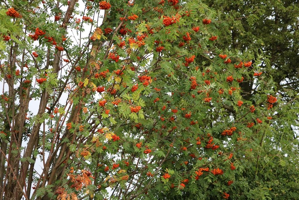 Mehlbeere - Vogelbeere - Eberesche - Sorbus