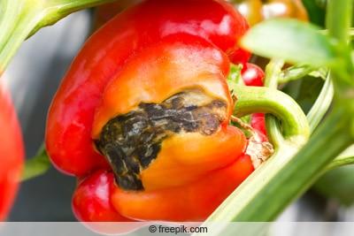 Brennfleckenkrankheit an Paprika