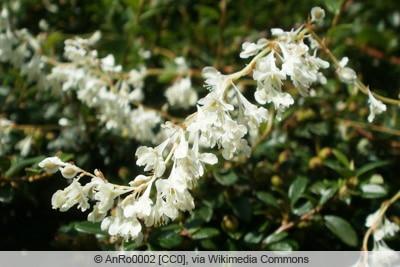 Blüte des Schlingknöterichs