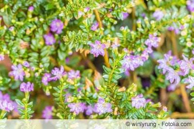 köcherblümchen cuphea hyssopifolia