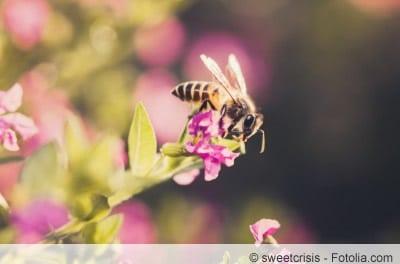 Köcherblümchen mit Biene