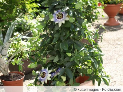 Passiflora im Topf