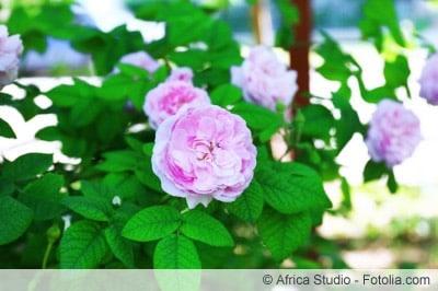 Rosen düngen für volle Blüten