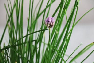 Schnittlauchhalme mit einzelner Blüte im Topf