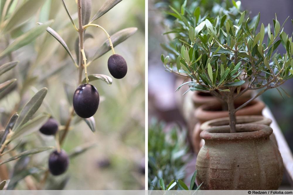 Olivenbaum winterhart
